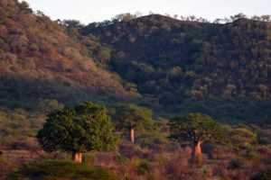 the scenery in Mkomazi NP is stunning with the huge baobab trees and the hills