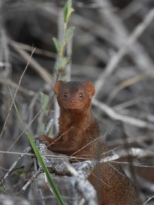 this cute dwarf mongoose has the most amazing smile!