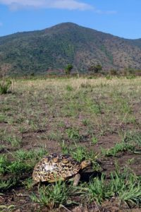 life in the slow lane, a small-ish leopard tortoise cruises past