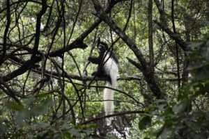 a guereza colobus monkey checks us out
