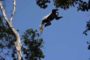 the guereza colobus monkeys are very agile and can jump large distances between trees