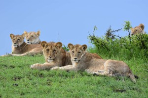 lions - one of the big 5