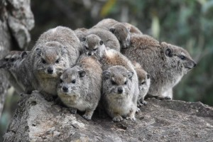 rock hyrax - the closest living relative to the elephant!