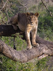 this lioness enjoys climbing trees after a feed to relax, check out how full her tummy is