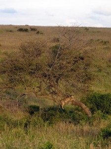 Kapazi (the tree-climbing lioness) in her favourite tree in the Nairobi National Park