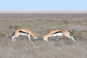 two thompson gazelles having a fight over mating rights