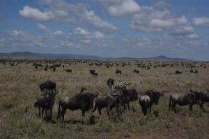 lots of wildebeest, including pregnant females, and a few zebras in the mix