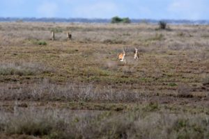 the cheetah brothers exposed themselves too early and the thompson gazelles live another day
