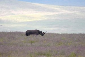 we are lucky and spot one of the rhinos in the Ngorongoro Crater