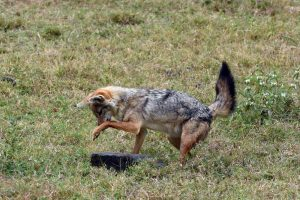 a golden jackal tries to find his next meal (successfully) by overturning every rock he could find