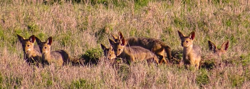 a family of jackals near their den