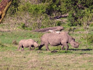 another white rhino with baby