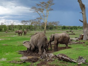 a parade of elephants enjoying the lush greens in the wetlands and a natural salt-lick