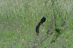 male Jackson's widowbird in breeding plumage