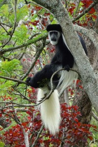 black and white Colobus monkey, if you are lucky we can even see them on our weekly run in Karura Forest