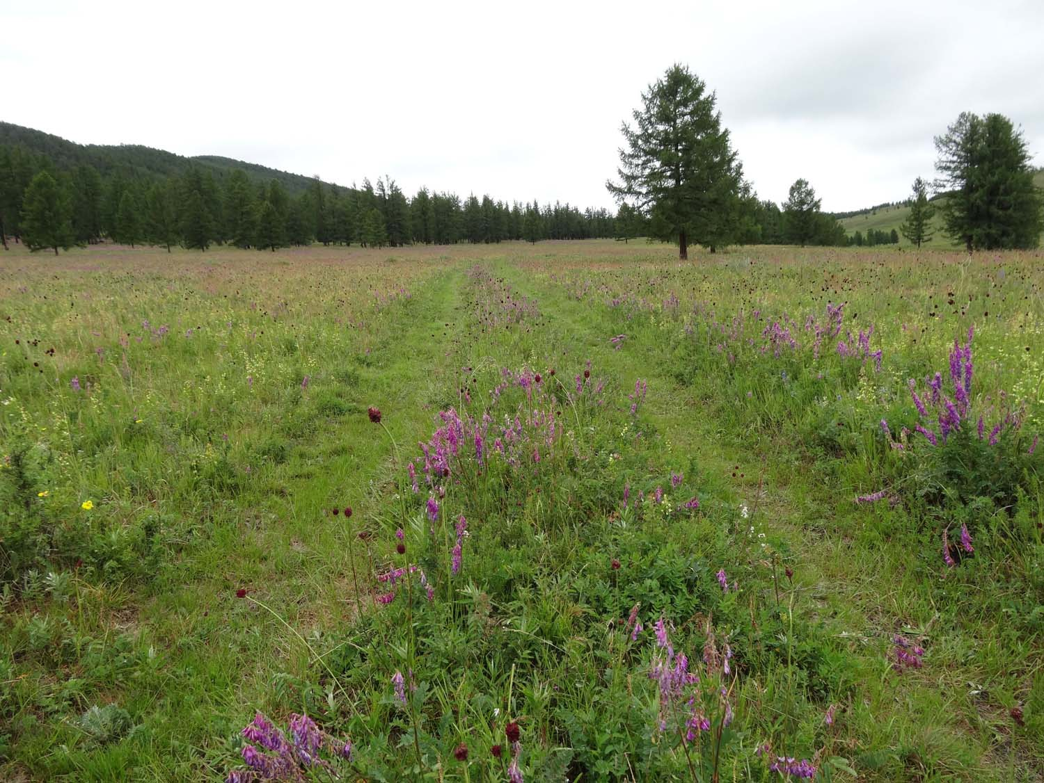 an amazing trail through beautiful wildflowers in a pine forest in the middle of nowhere