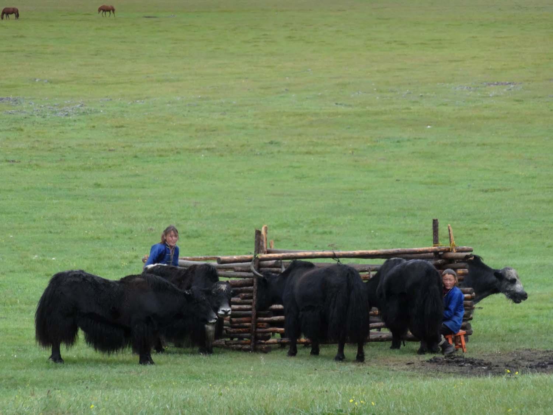 milking the yaks