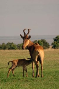 Coke's hartebeest and suckling young