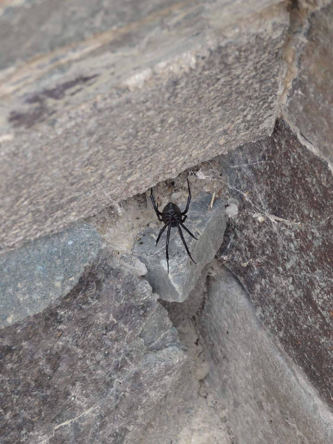 local version of the black widow spider