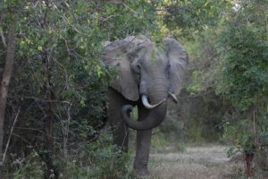 we literally stumble across this elephant, it is hard to see far with this much bush around
