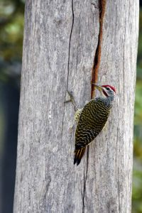 this speckle-throated woodpecker was hammering away for a long time, we didn't see it catch anything, but something good must have been hiding in that crack