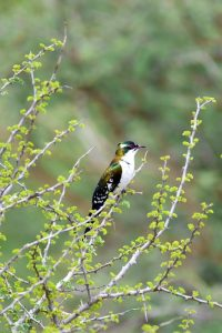 beautifully coloured diederik cuckoo