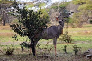 magnificent male greater kudu