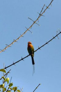another pretty bee-eater, the bohms bee-eater