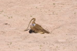 a yellow baboon making use of the hole dug by an elephant in a dry riverbed for drinking