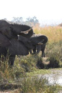 elephants drinking in Ruaha NP