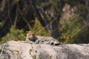 a female leopard relaxing on a rock in Ruaha NP
