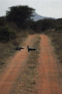 on the way back to the lodge we come across these two honey badgers!