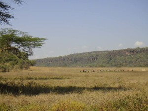 the peloton disappearing into the distance in Lake Nakuru NP