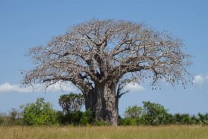 beautiful baobab tree