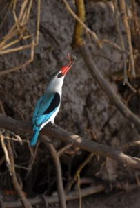 mangrove kingfisher with a catch (crab) - very exciting as it was the first time we saw one
