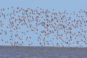 lots of flamingos taking off