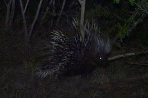 our night visitor - a crested porcupine! The first time we had a good look at one, the previous 2 times we saw one were glimpses (once in Kenya and once in Zambia)