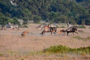 hyena chasing the baby wildebeest