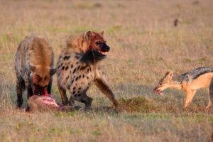 the two young, male hyenas quickly trying to eat as much as they can. The little jackal manages to snatch bits of the kill too.