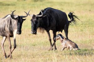 a baby wildebeest is born