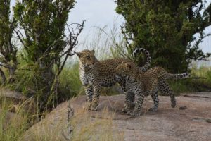 A leopard with her 5-month old male cub, we were very lucky to spend some time with them all alone