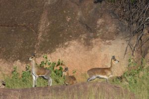 a family of klipspringers on the lookout for predators