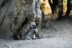 two young hyenas in their den