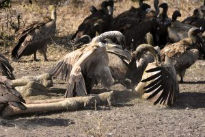 vultures fight a lot to determine the pecking order