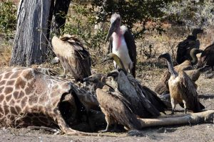 many vultures and storks waiting for a piece of the giraffe