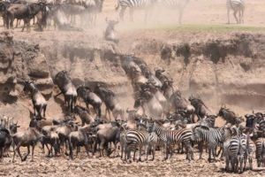 wildebeest and zebras leave the bank of the river after an unsuccessful attempt at a crossing