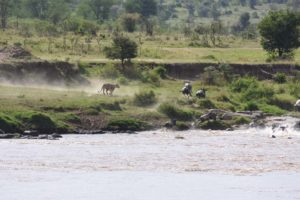 but a little later they do decide to cross in pretty much exactly the same spot and not long after they start crossing the lioness makes her appearance and panic breaks out