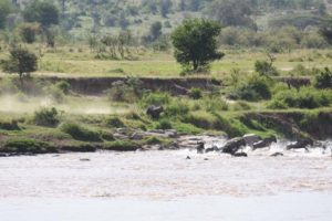 last desperate move by the wildebeest