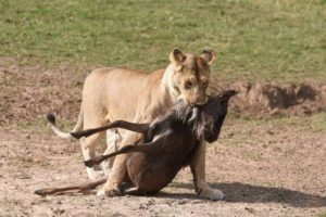 lioness carrying the smaller kill to a bush where she seemed to hide it