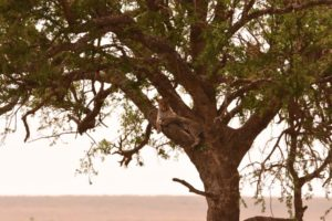Jon finally gets to see a leopard in a tree, the kill is in there too
